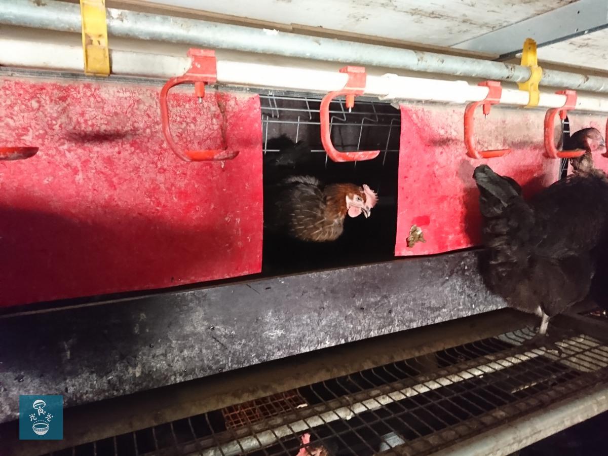 英國 走地雞蛋農場 Free range egg farm