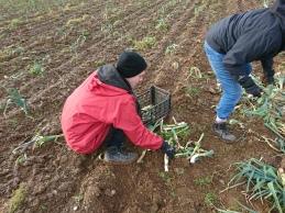 義工在收割韭蔥