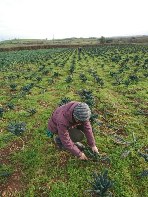 在寒風凜冽的早晨收割真的很冷,農夫工作真不易